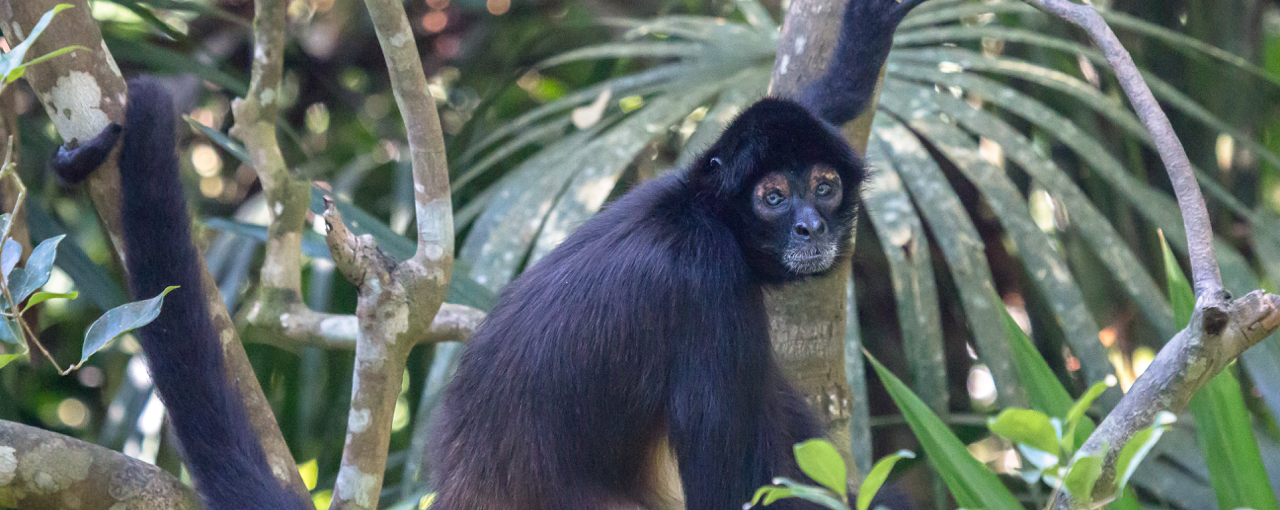 Spider Monkeys of Belize